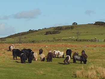 Photo Gallery Image - Ponies grazing on Okehampton Common